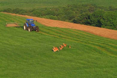 牧草畑に鹿の群れが入り込む