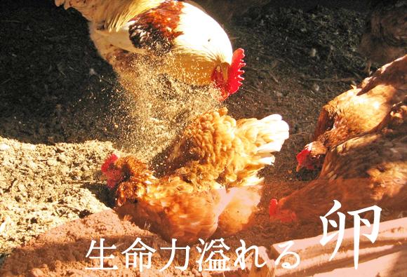 ヤマギシの養鶏